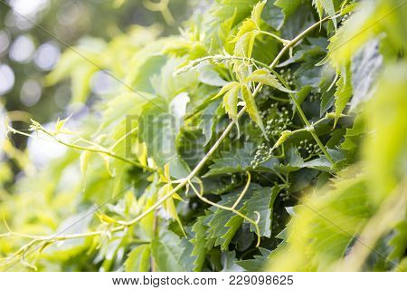 Wild Grapes Green Hanging On The Fence