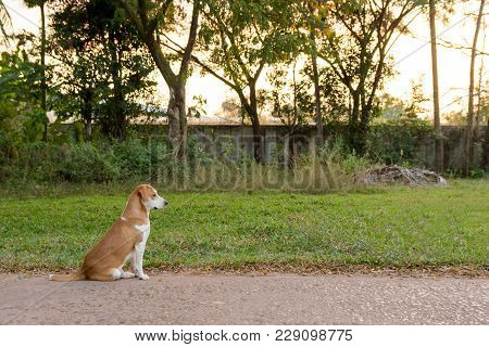 Brown And White Cute Puppy Sitting Down With Green Grass Background. Copy Space