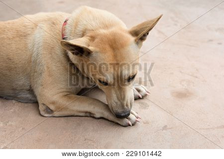 Dog Licking His Paw On Cement Floor