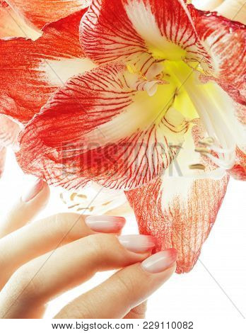 Beauty Delicate Hands With Pink Ombre Design Manicure Holding Red Flower Amaryllis Close Up Isolated