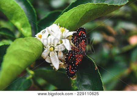 Black And Orange Butterfly Landed On A White Flower From A Lemon Tree