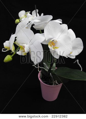High Contrast Potted Orchid Flowers