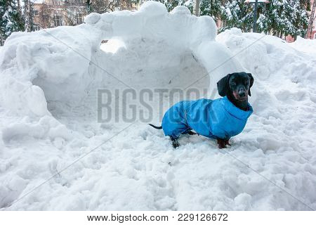 Dachshund In Coat On The Winter Snow
