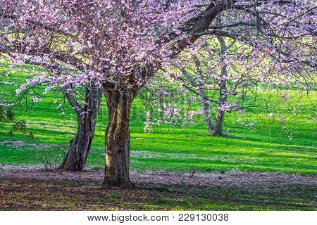 Cherry Blossoms And Bright Green Grass In Holmdel Park In New Jersey.