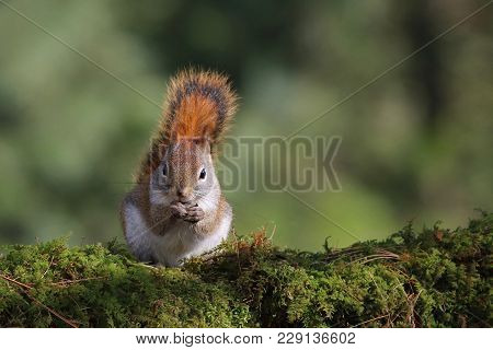 A Little Red Squirrel Sitting On A Mossy Branch In The Forest Eating Food