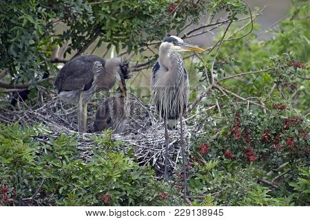 Great Blue Heron At Nest With Two Young In Tree.