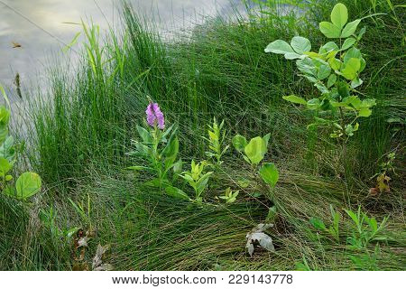 False Dragonhead Flowers (physostegia Virginiana), Also Called Obedient Plants, Or Obedience, Bloom