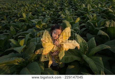 The Girl Holds The Tobacco Leaf At The Tobacco Farm,children Working Is Happy At Tobacco Farm ,thail