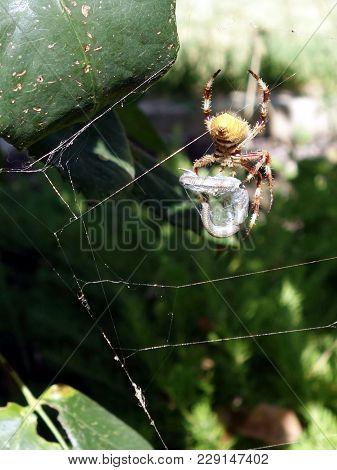 An Australian Spider Ready To Eat A Lizard Caught In Its Web In A Garden