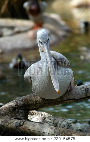 Pelican On Branch At Southern California Zoo