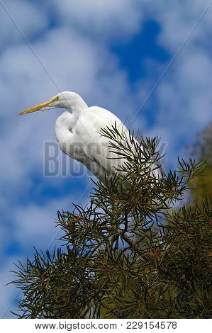 Snowy Egret In Wild On Clear Day With White Puffy Clouds