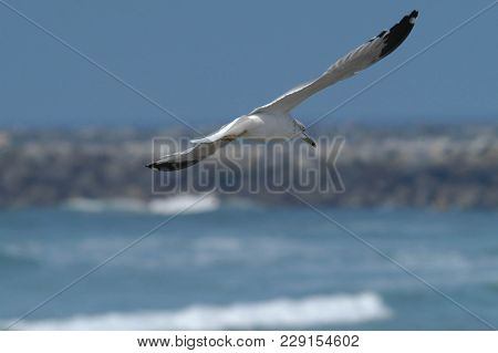Seagull In Flight With Breakwater In Background