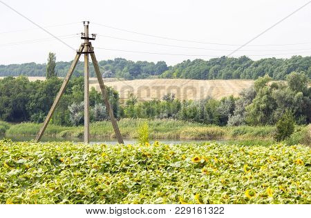 Old Electric Pole On A Field With Sunflowers.  High-voltage Pole In The Field