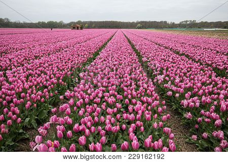 Pink Tulips Fields Of The Bollenstreek, South Holland, Netherlands