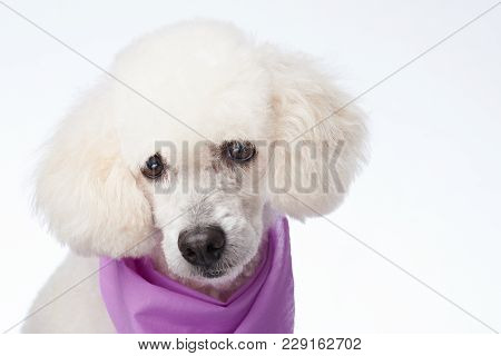 Portrait Of Poodle With Haircaut Isolated On White Background