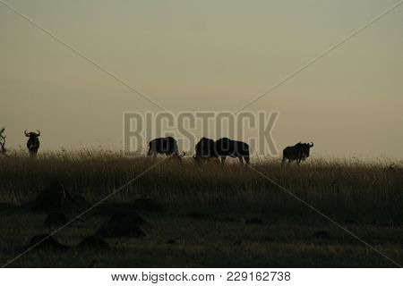 Blue Wildebeest Or Brindledgnu(connochaetes Taurinus)nyumbu In Swahili Language.