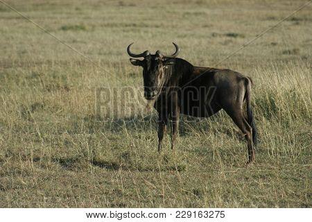 A Blue Wildebeest Or Brindled Gnu (connochaetes Taurinus)nyumbu.