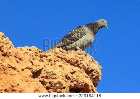 Feral Pigeon Perching On A Branch In Front Of A Colourful Background. Egypt