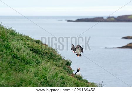 Atlantic Puffin, Fratercula Artica In Flight, Borgarfjordur, Iceland