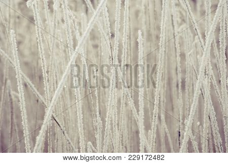 The Texture Of Winter Reeds Covered With Hoarfrost On A February Day.
