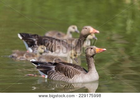 Natural Gray Goose (anser Anser) Family With Four Fledglings Offspring
