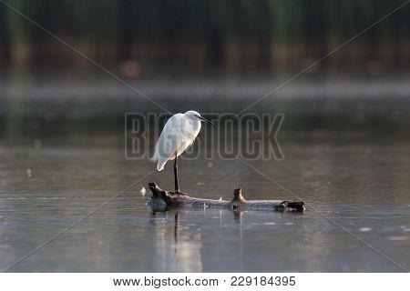 Natural Little Egret (egretta Garzetta) Standing On Branch In Water