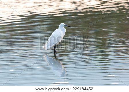Mirrored Natural Little Egret (egretta Garzetta) Standing In Water
