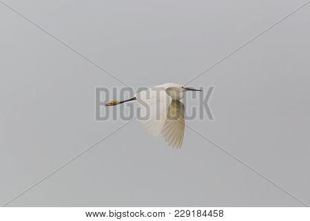 Natural Little Egret (egretta Garzetta) Flying In Gray Sky, Open Wings
