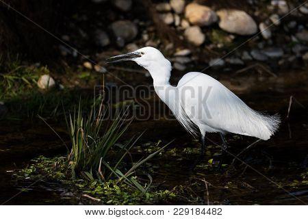 Natural White Little Egret (egretta Garzetta) Hunting At Dark Riverside In Sunshine
