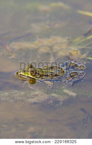 Natural Green Frog Sitting In Pond Water With Algae And Leaves