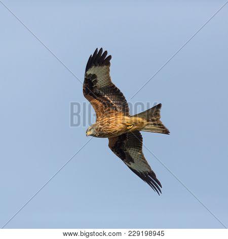 Natural Red Kite Bird Portrait In Flight (milvus Milvus), Blue Sky, Spread Wings