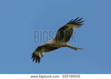 Detailed View Natural Flying Red Kite Bird Of Prey (milvus Milvus), Blue Sky, Spread Wings