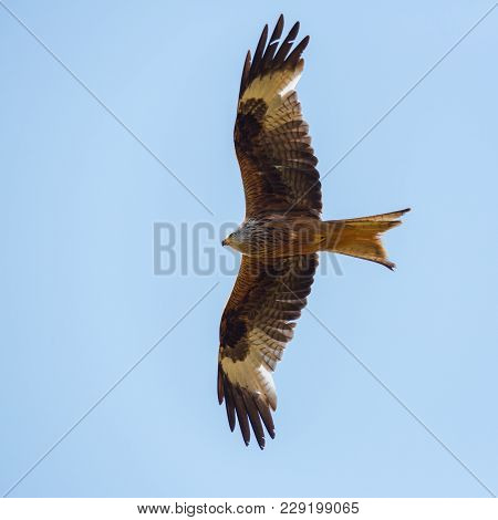 Portrait Flying Natural Red Kite Bird (milvus Milvus), Blue Sky, Spread Wings