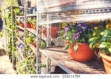 Viola Tricolor In A Ceramic Pot With Other Flowers On A Shelf In An Outdoor Shop