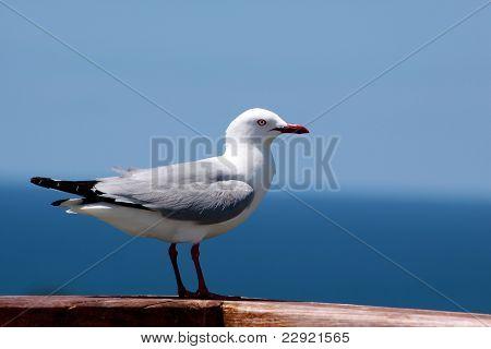 Red-billed Gull at coastline Coromandel Peninsula New Zealand poster