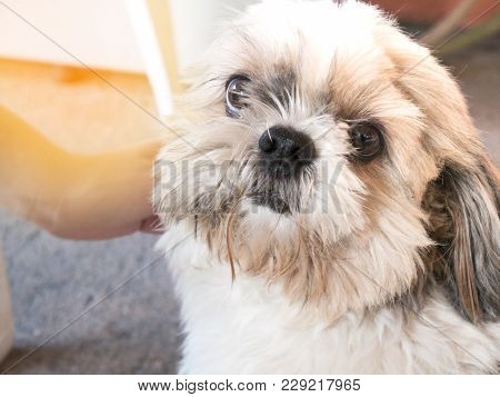 Shih Tzu In The Home Be Loved By The Owner A Real Friend Have A Habit Of Cheerful