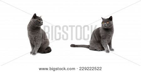 Gray Cats On A White Background. Horizontal Photo.