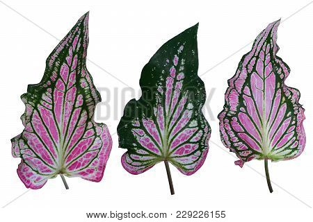 Caladium bicolor with pink leaf and green veins (Florida Sweetheart), Pink Caladium foliage isolated on white background, with clipping path poster
