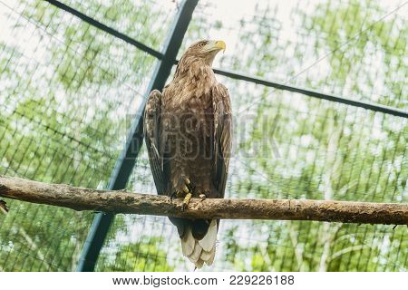 White-tailed Eagle Or Orlan Whitetail Sitting On A Wooden Branch