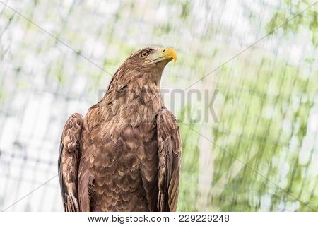 Portrait  Of White-tailed Eagle. Orlan Whitetail. Bird Of Prey.