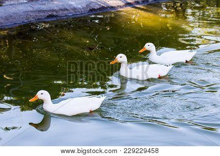 Cagliari - Ducks Swimming In The Pond Inside The Monte Claro Park - Sardinia