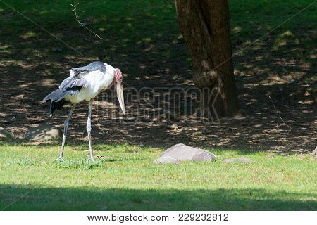 Marabout Stork Also Known As The Undertaker Bird Doe To Its Shape