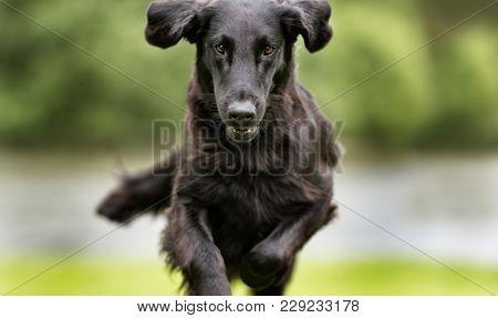 Flatcoated Retriever Dog