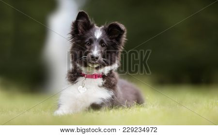 Young Border Collie Dog Puppy