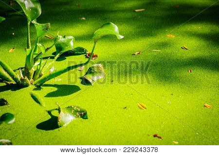 Plants Calla Marsh In Pond. Green Duckweed On Water In The Lake.
