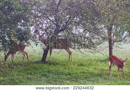 A Hazy Morning In The Apple Orchard Where A Family Of Deer Warily Eat Their Breakfast.