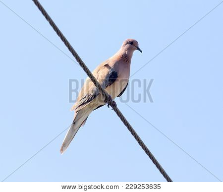 Bird Dove On The Electric Wire . In The Park In Nature