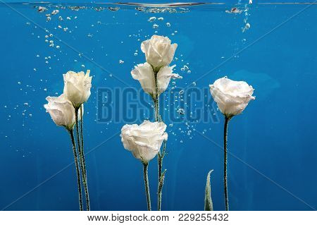White Roses Inside In Water On A Blue Background. Flowers Under The Water With Bubbles And Drops Of