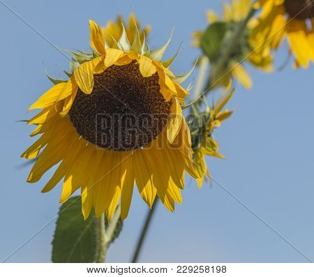 A Sunflower Is Starting To Wilt With Yellow Flowers Sticking Down Toward The Ground With A Bgright B