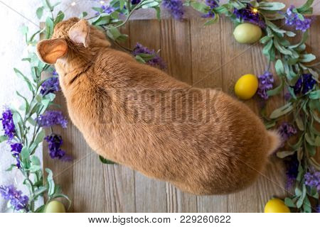 Easter Bunny Rabbit In Rufus Color Surrounded By Spring Flowers, Flat Lay
